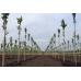 Бамбуковый ствол для подвязки, Ø16-18мм, L 1,5м – фото 9