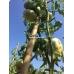 Бамбуковый ствол для подвязки, Ø16-18мм, L 1,5м – фото 6